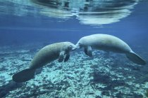 Pair of manatees greeting each other — Stock Photo