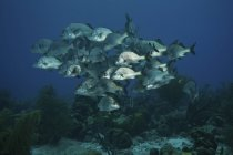 Flock of black Margates congregating on reef — Stock Photo