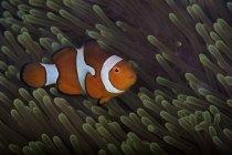 False Ocellaris Clownfish — Stock Photo