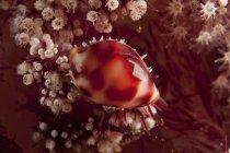 Concha de capucha en dendronephtya coral suave - foto de stock
