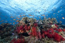 Schooling anthias fish and corals — Stock Photo