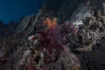 Soft coral on Fijian reef — Stock Photo