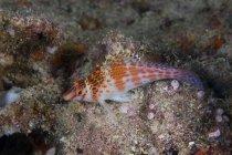 Dwarf hawkfish on seabed — Stock Photo