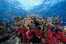 Scuola di anthias pesci e coralli — Foto stock