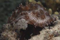 Alimentación de pepinos de mar con algas - foto de stock