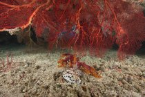 Gorgonian sea fan and tiger cowrie — Stock Photo