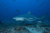 Large bull shark — Stock Photo