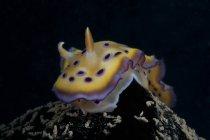Chromodoris kuniei nudibranch — Stock Photo