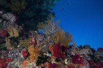 Coralli molli e appassionati di mare gorgoniano — Foto stock