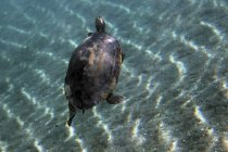 Краснобрюхая черепаха Кутер всплыла на поверхность — стоковое фото