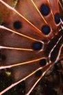 Aleta pectoral de pez escorpión - foto de stock