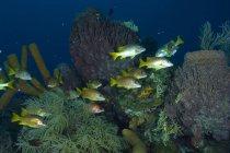 Manada de maestros de escuela flotando sobre el arrecife - foto de stock