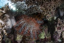 Estrella de mar corona de espinas en los corales - foto de stock
