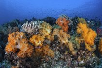 Soft coral colonies growing on reef — Stock Photo