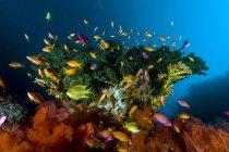 Reef scene with anthias fish — Stock Photo