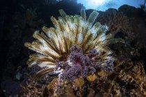 Crinoïde coloré sur le récif corallien — Photo de stock