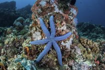 Sea star clinging to reef — Stock Photo