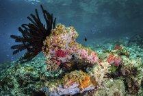 Crinoïdes et tuniciers recouvrant les récifs peu profonds — Photo de stock