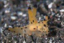 Coppia nudibranchi su fondale sabbioso — Foto stock