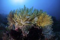 Яркие лилии на коралловый риф — стоковое фото