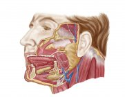 Anatomy of human salivary glands — Stock Photo