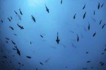 Tiburones martillo festoneados en aguas profundas - foto de stock