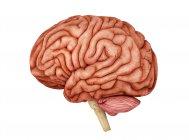 Anatomy of human brain on white background — Stock Photo