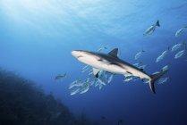 Requin de récif et école de poisson — Photo de stock