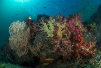 Reefscape con coralli colorati e scuola di pesci antitias, Raja Ampat, Papua occidentale, Indonesia — Foto stock