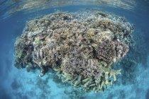 Récif corallien coloré poussant en eau peu profonde — Photo de stock
