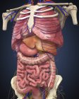 Vista de la sección media que muestra los órganos internos del cuerpo humano - foto de stock