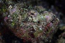 Closeup de pez escorpión diablo tiro - foto de stock
