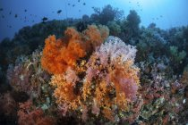 Colorful corals on reef near Sulawesi — Stock Photo