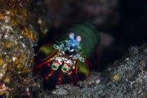 Pfauenauge krabbelt auf Riff — Stockfoto