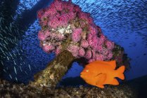 Anemones surrounded by Garibaldi and baitfish — Stock Photo