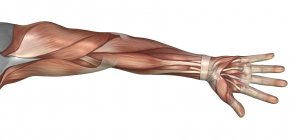 Anatomía muscular del brazo humano - foto de stock