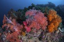 Colonies de coraux mous vibrantes sur le récif dans le détroit de Lembeh, Indonésie — Photo de stock