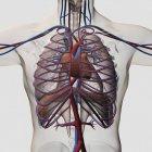 Ilustración médica tridimensional del pecho masculino con arterias, venas, corazón y caja torácica - foto de stock