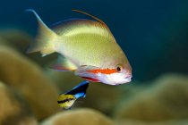 Scalefin anthias pescado con wrasse limpiador - foto de stock