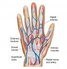 Anatomía del dorso de la mano humana - foto de stock