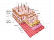 Medical illustration of the human skin anatomy — Stock Photo