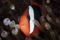 Клоун, плавание среди щупальца анемона. — стоковое фото