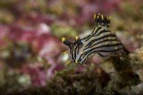 Polycera atra nudibranch — Stock Photo
