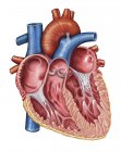 Ilustración médica del corazón humano interior - foto de stock