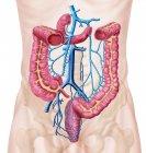 Anatomía del sistema venoso abdominal humano - foto de stock