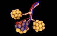 Ilustración médica de alvéolos sobre fondo negro - foto de stock
