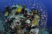 Colorful reef fish swimming near Alor — Stock Photo