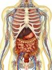 Прозрачный человеческое тело с внутренних органов, нервной, лимфатической и кровеносной систем — стоковое фото