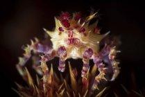 Granchio caramella su spine di corallo molle — Foto stock