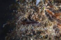Closeup de pejesapo peludo tiro, estrecho de Lembeh, Indonesia - foto de stock